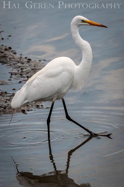 Great Egret Don Edwards National Wildlife Refuge, Fremont, California 1407R-GE3