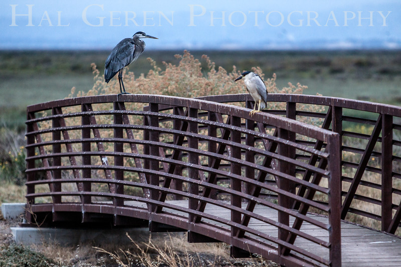 Blue Heron and Black Crowned Night Heron Don Edwards National Wildlife Refuge, Fremont, California 1407R-BABCH2