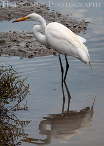 Great Egret Don Edwards National Wildlife Refuge, Fremont, California 1407R-GE2