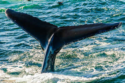 Right Whale Tail Fluke