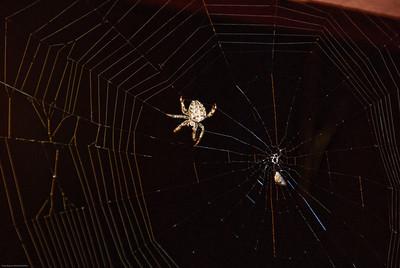 Orb-Weaving Spider-4