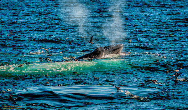 """""""Community"""" Right Whale off of Provincetown, Massachusetts"""