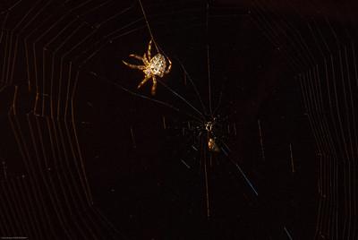 Orb-Weaving Spider-3