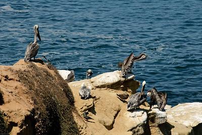 San Diego, pelicans