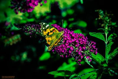"""Monarch in the Garden"" (Lomo Effect)"