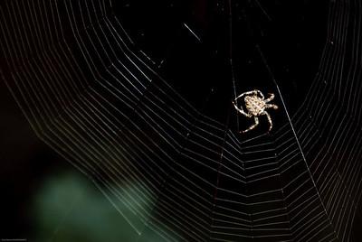 Orb-Weaving Spider-2