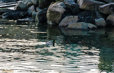 """Daylight Camouflage"" Pigeon Cove - Rockport, Massachusetts"