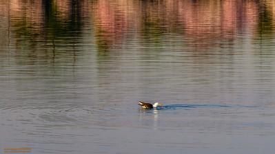 """Gull with Cherry Blossom Reflections"" Tidal Basin Washington, DC"