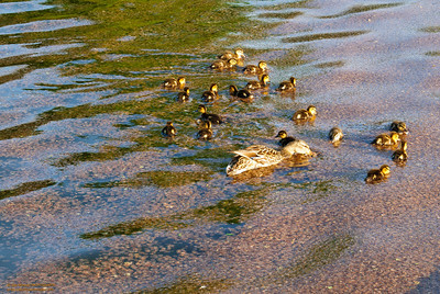 Ducks at the Lincoln Memorial Pond, Washington, DC