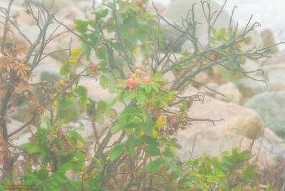 """""""Beach Plum on the Rocks"""" Hurricane Sandy fog off of Magnolia Shore Road, Gloucester, Massachusetts"""
