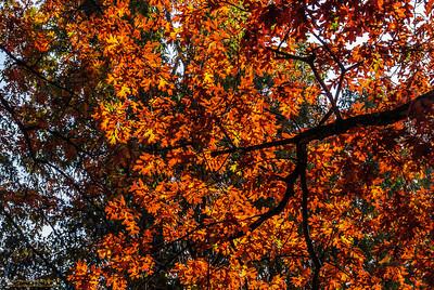 """""""Chapel Hill Autumn"""" Chapel Hill, North Carolina"""