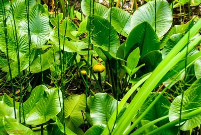 Acadia Water Plants