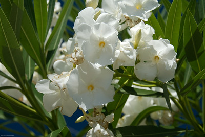 White Blossums