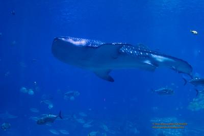 """Graceful Whale Shark """