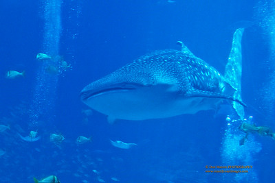 """""""Whale Shark"""""""