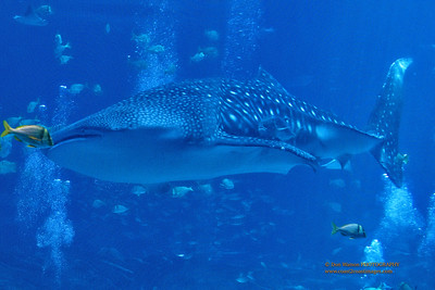 """Whale Shark and Friend"""