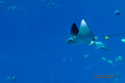 """Spotted Eagle Ray"""