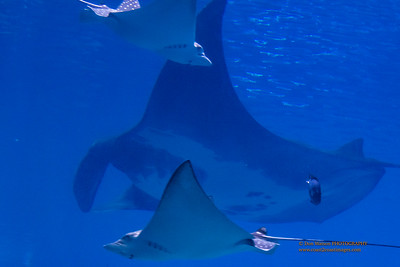 """A Squadron of Manta Rays"""