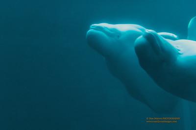 """Playful Belugas"""