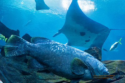 """Giant Trevally with Manta Ray"""