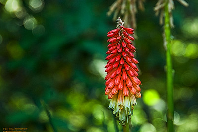"""Red Hot Poker"""