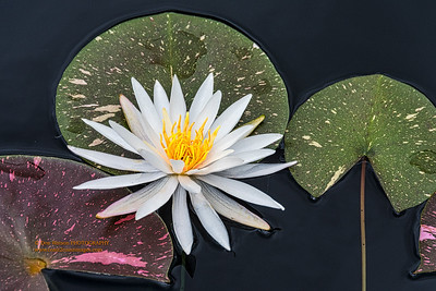 """Nymphaea odorata ,""  American White Water-lily"
