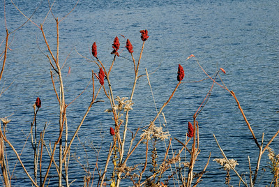 Sumac along Queechy Lake - New York