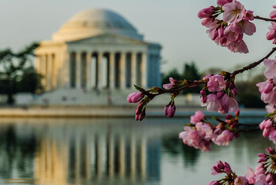 """Cherry Blossoms and the Jefferson"""
