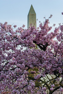 """""""Cherry Blossoms and the Washington Monument"""""""