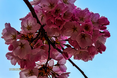 """""""Golden Touches at Cherry Blossom Time"""""""