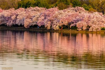 """Pretty in Pink"" Tidal Basin National Cherry Blossom Festival"