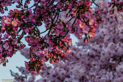 """""""Early Morning Light on the Cherry Blossoms"""""""