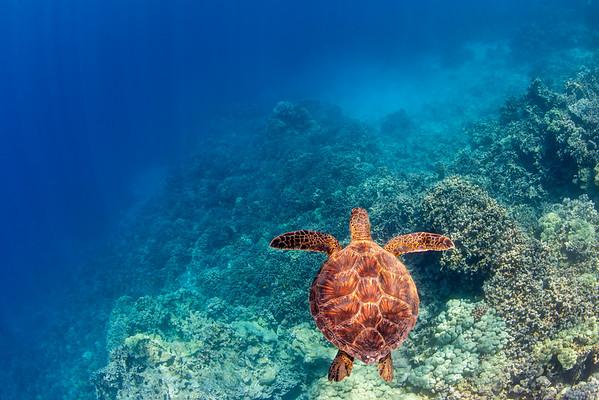 K Bay Turtle