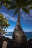 Kalapana Palm