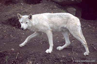 Wolf Finn