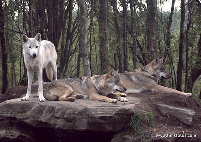 Wolves Finn, Oisin and Fergus