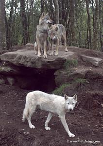 Wolves Finn (white) Fergus (sitting) and Oisin