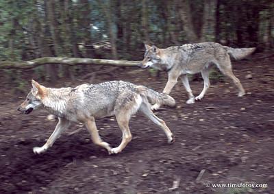 Wolves Fergus and Oisin