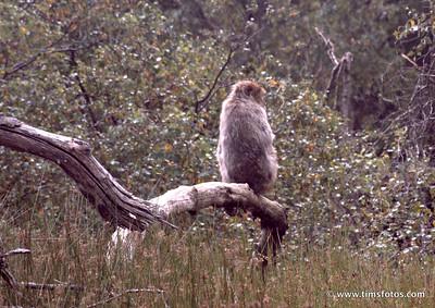 Barbary Macaque Soho