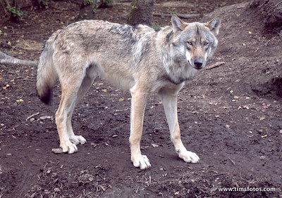 Wolf Fergus