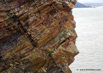 Fulmars on cliff at Fort Dunree