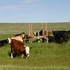 Warning - move along, Ladies.  (open range cattle - no fences)