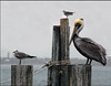 Pelicans Three