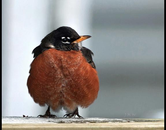 Robin One
