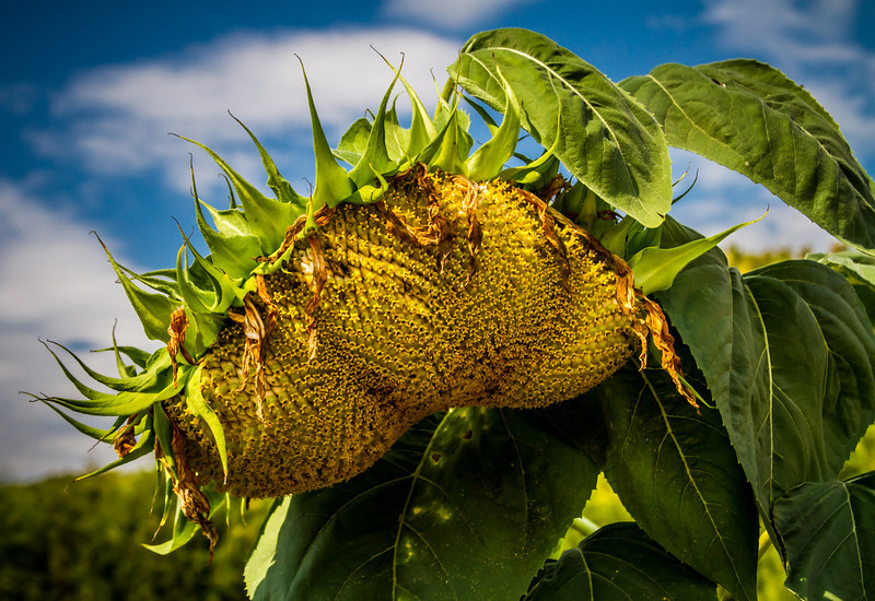 Drooping Sunflower