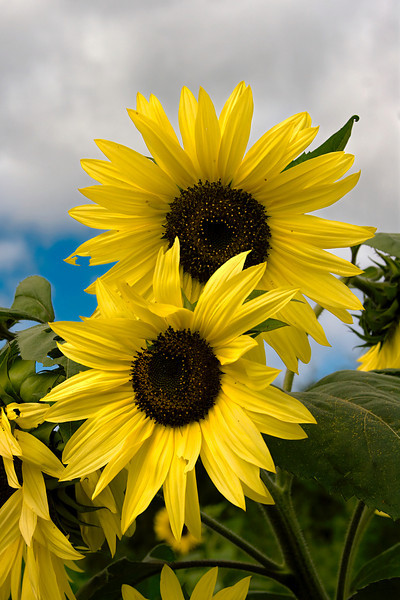 """<h2><i>""""Sunflowers""""</i></h2><h4>At """"The Farm"""", Sturgeon Bay, WI</h4>Still Life Photo of the Day - Digitalimagecafe.com 06/05/11<br/><br/><i><A href=""""http://chuck-de-la-rosa.artistwebsites.com/featured/sunflowers-chuck-de-la-rosa.html"""" target=""""_blank"""">Click here to order prints of this photo!</A></i>"""