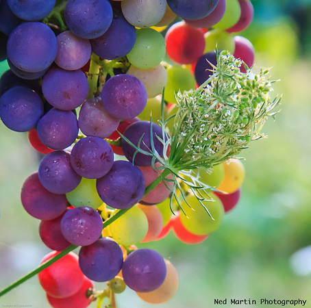 August Grapes and friend, Terroir Feely, Saussignac, France