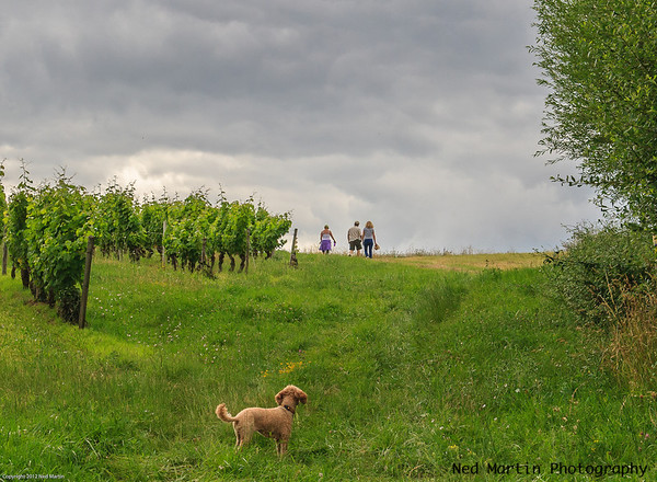 Dog and its family along the randonnee and vineyards, Saussignac, France.