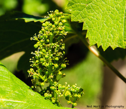 Young grapes, Saussignac, France