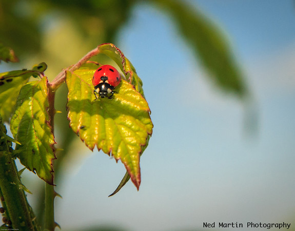 Ladybug on wild rose bush in Saussignac